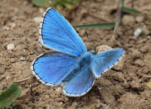 macro adonis blue (explored)