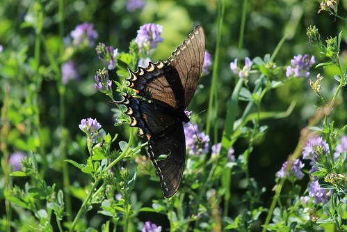 IMG_0277_Brown_Butterfly