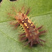 Moth caterpillar, limacodidae
