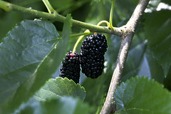 blackberry, berry, leaf, tree, macro photography, flora, green, fruit, close-up, mulberry,