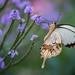 Mocker Swallowtail by rvtn