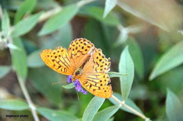 Fritellary Butterfly