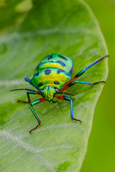 Chrysocoris stolli Jewel Bug