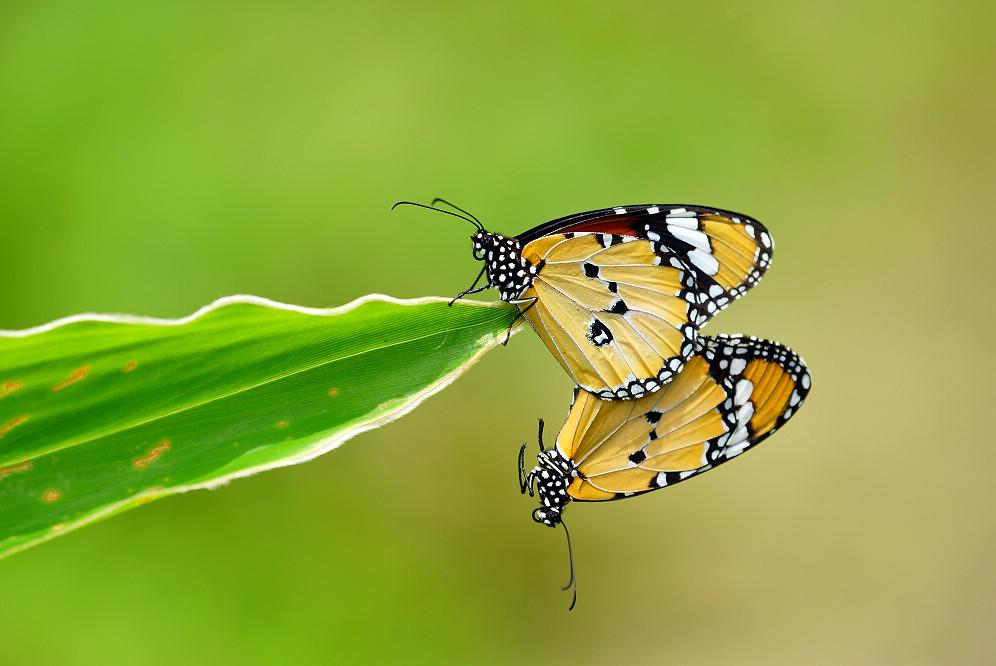 斑蝶屬金斑蝶-1