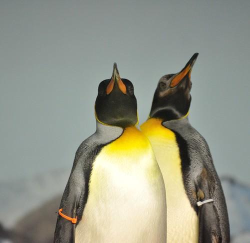 Penguins Kansas City Zoo