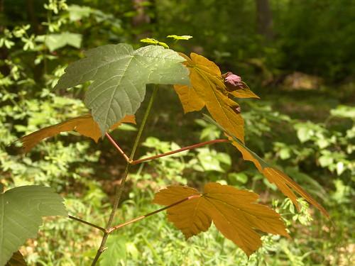#holzvonheir, Bild heimischer nachhaltiger Wald, Ahornjungpflanze