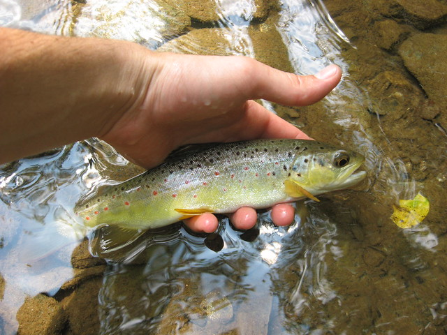Maryland Brown Trout