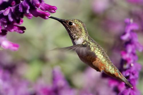 蜂鳥。(來源:David Levinson)