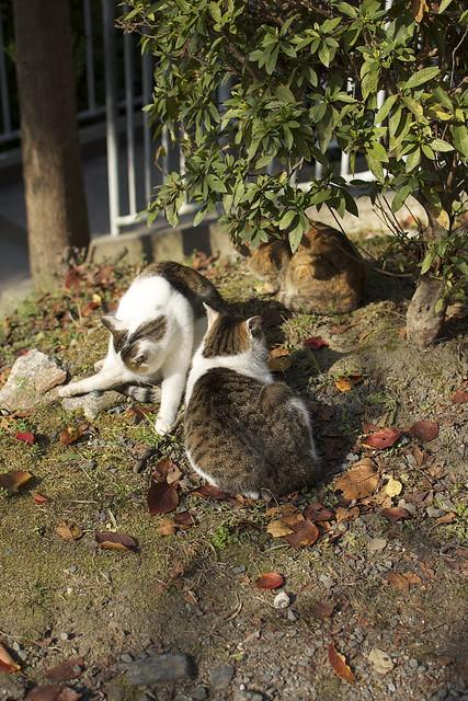 哲学の道で哲学する猫 その3