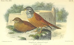 """British Library digitised image from page 677 of """"Reisen und Forschungen in Algerien ... Mit ... Tafeln, etc"""""""