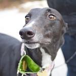 Greyhound Adventures at Pond Meadow Park, Braintree MA, Dec 8th 2013