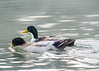 2013-12-11, Kastle Ducks-7 by falon_167