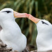 Black-browed Albatross (Thalassarche melanophris) by David Cook Wildlife Photography