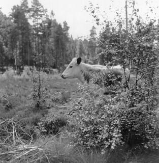 Grazing cow, Nössemark, Dalsland, Sweden