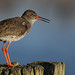 Redshank, in early morning light.