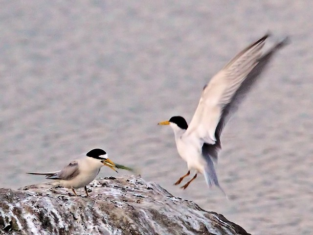 Least Tern bonded male departs 16- 20140428