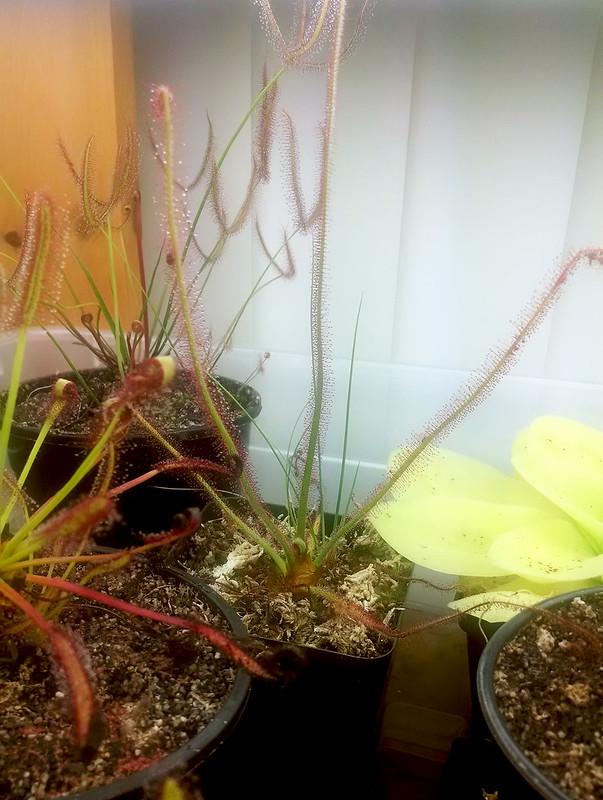 Drosera spiralis doing well.