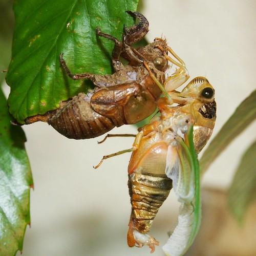 蝉の羽化を撮る