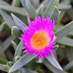 annual plant(1.0), flower(1.0), plant(1.0), macro photography(1.0), flora(1.0), ice plant(1.0), petal(1.0),