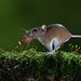Wood mouse carrying a acorn. by roy rimmer