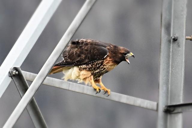 Red-tailed Hawk Buteo jamaicensis, Nikon D7200, AF-S Nikkor 200-500mm f/5.6E ED VR