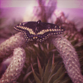 The Butterfly Cactus