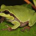 Pine Barrens Tree Frog (Hyla andersonii) by Daniel S Thompson