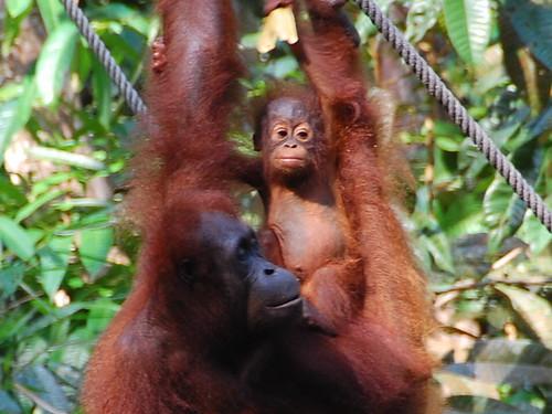 Sarawak orangutans