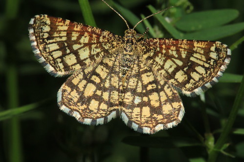 Latticed Heath 19368