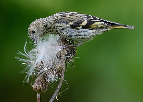birds sweden aves sverige siskin fåglar carduelisspinus grönsiska