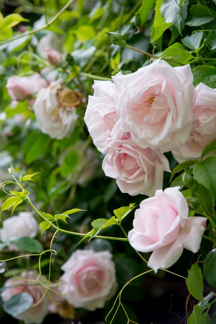 climbing roses Italy