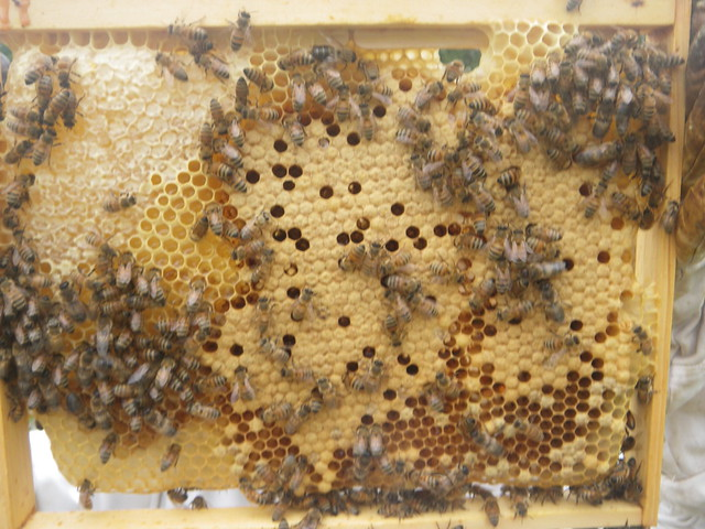 Ate their honey stores and laid brood