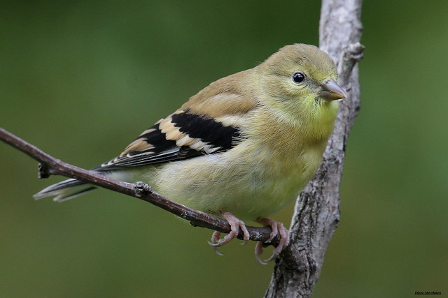 American goldfinch baby - photo#12