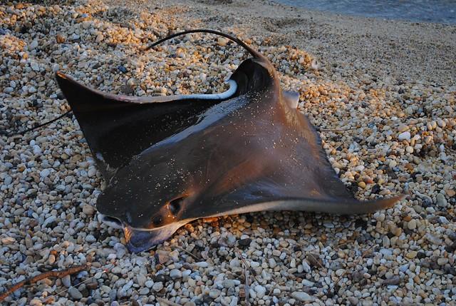 Восточноамериканский бычерыл (cownose ray)
