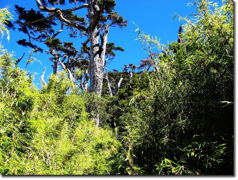 鐵杉與箭竹林