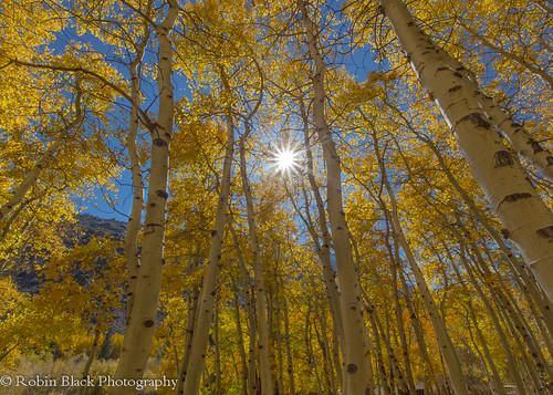 Lundy Aspens With Sunstar (Eastern Sierra)