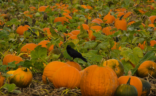 Pumpkin Patch 046