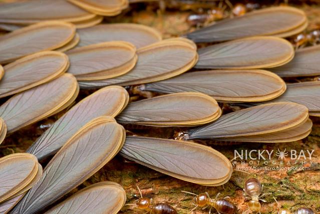 Winged Termites (Termitoidae) - DSC_8081