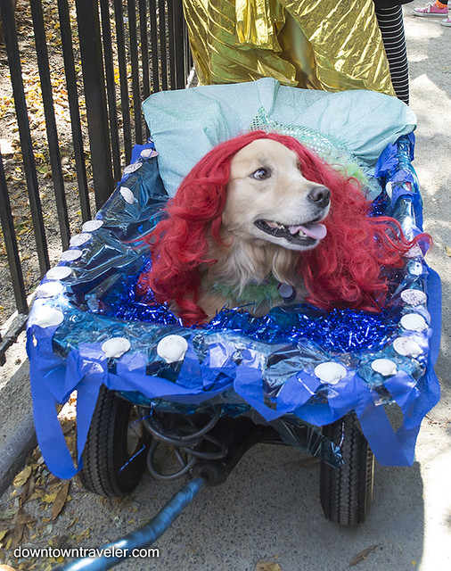 Halloween Dog Costume_The Little Mermaid_Lilly Golden Retriever