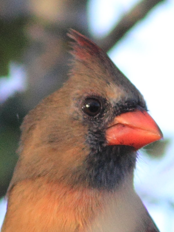 Northern Cardinal female portrait 20131031
