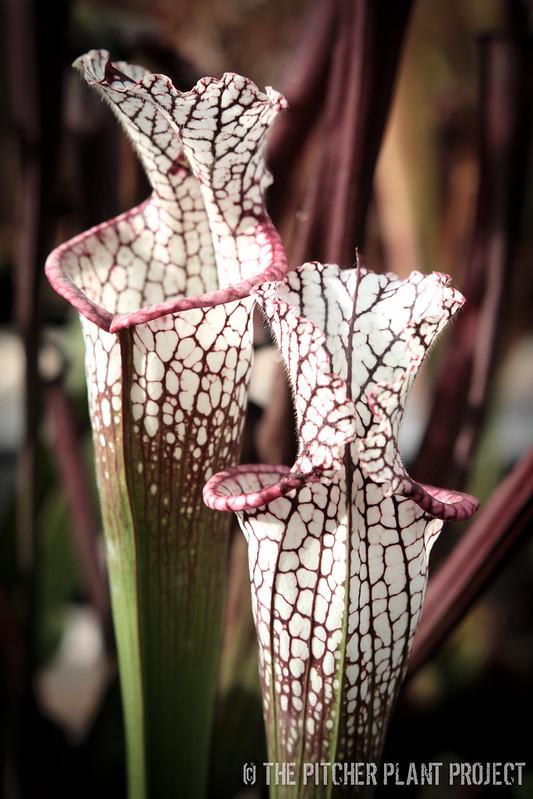 "Sarracenia leucophylla ""Purple Lips"""