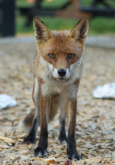 red fox_-4