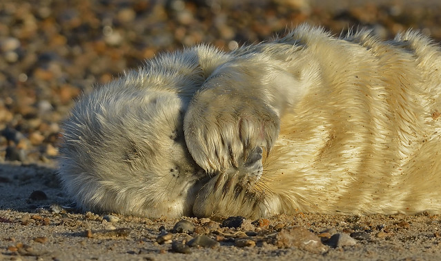 Atlantic Grey Seal Pup....who opened the curtains!