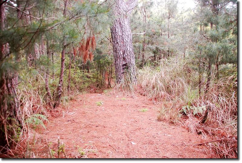 5.3K稜線大樹下營地