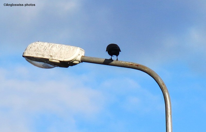 Crow on a Lamp Post in Feldbrunnen