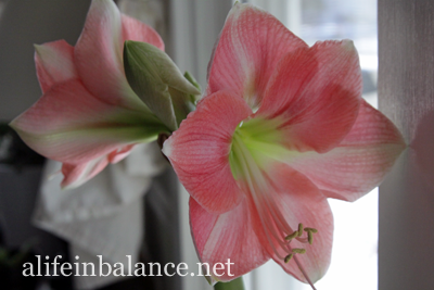 Christmas 2013 House Tour: Amaryllis from Longwood Gardens