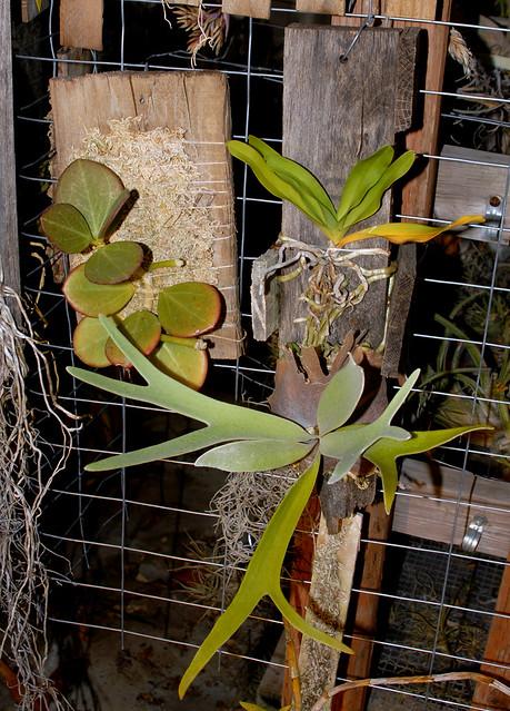 Hoya pachyclada,  Sobennikoffia robusta and Platycerium veitchii