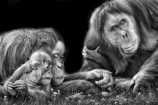 Orang outan family portrait
