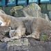 Eisbären im Dierenrijk im Dezember 2013