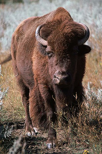 Wildlife in British Columbia, Canada: Bison / American Bison